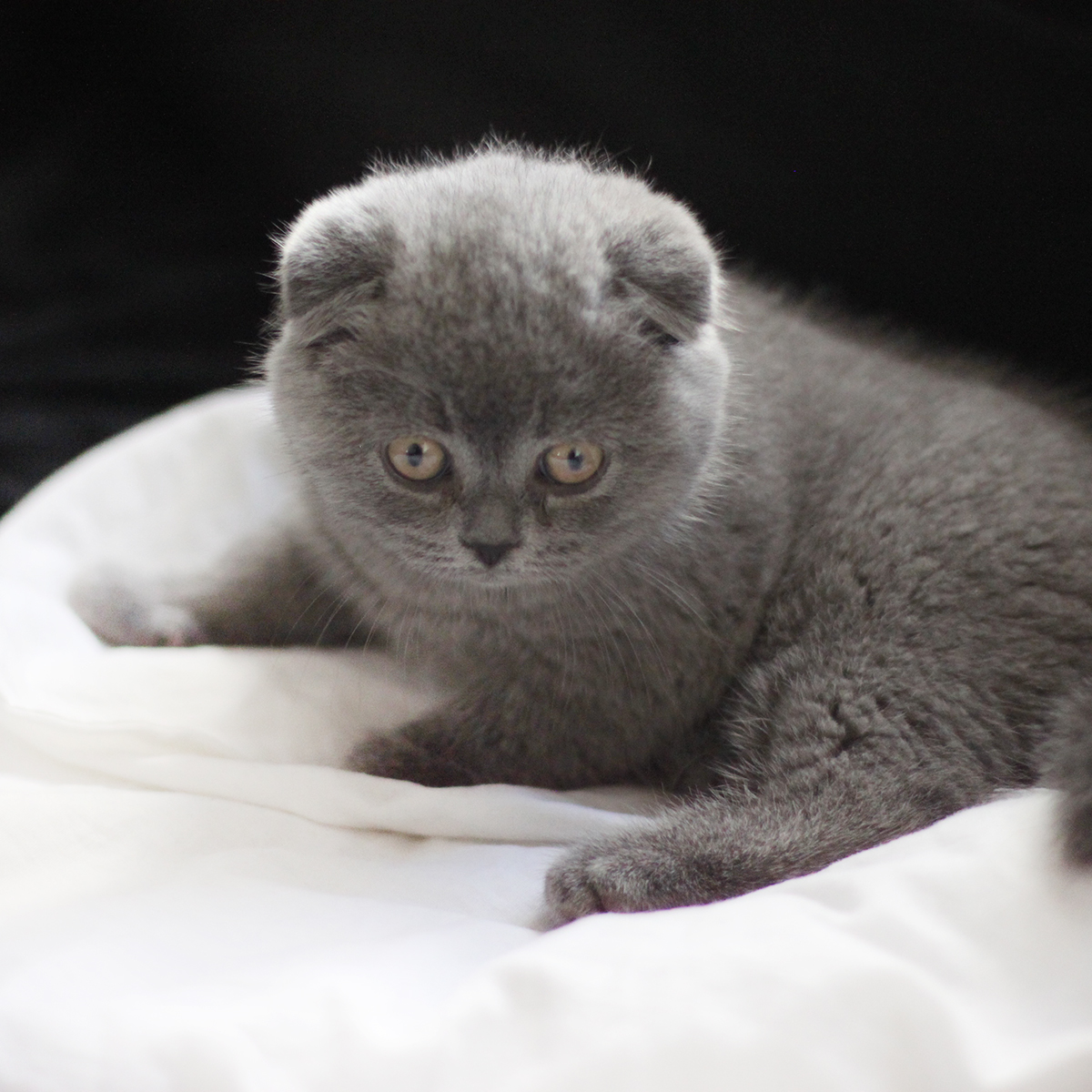 helmut chaton scottish fold